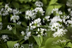 Wild-garlic-in-Appleton-woods